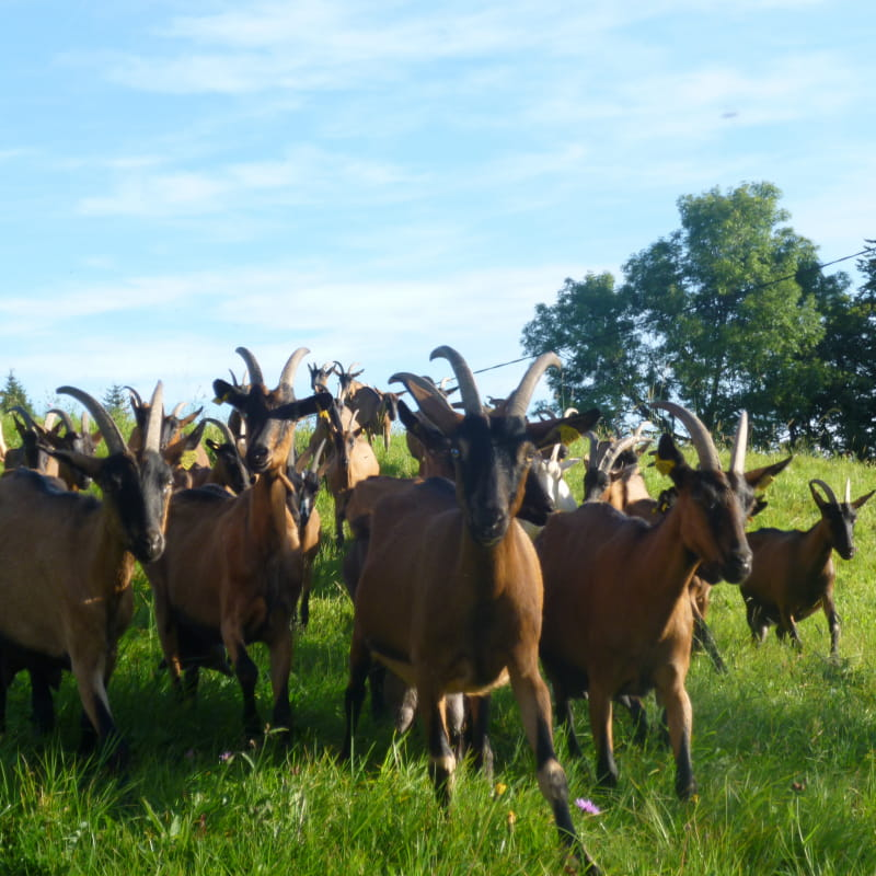 Les chèvres au pré du GAEC du Brossmont