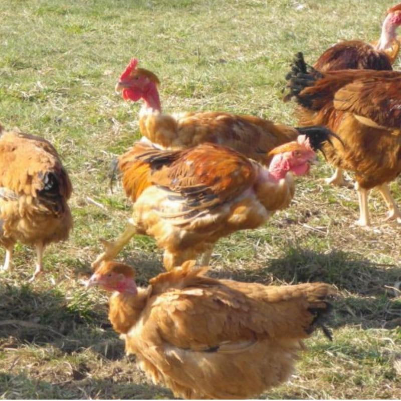 Elevage de volailles fermières : EARL Alberjo