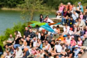 Ara spectacle d'oiseaux en vol