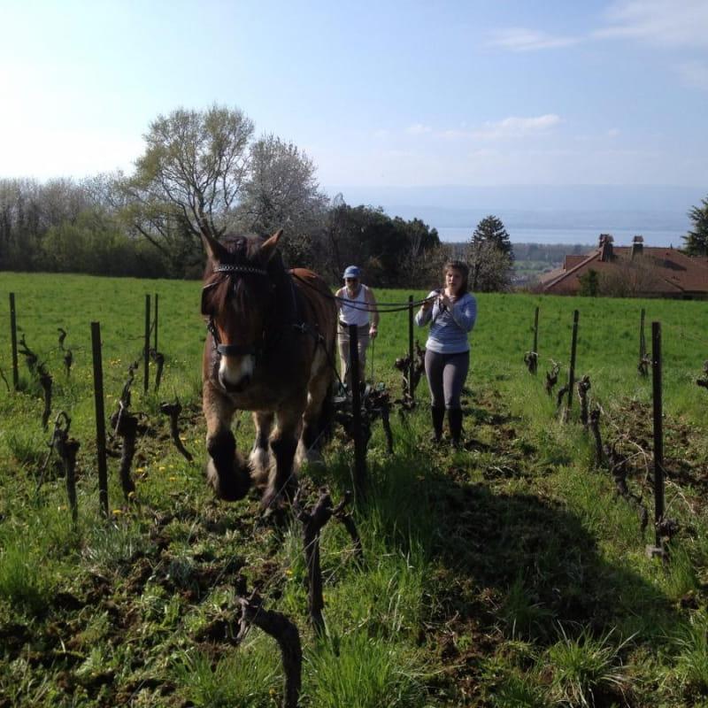 les vieilles vignes  sont labourées à cheval