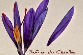 Safran du Cézallier