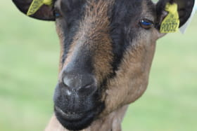 1 chèvre