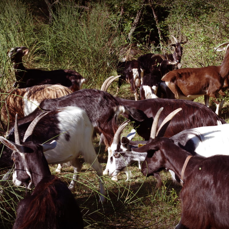Chèvrerie des Montfleury à Mirabel