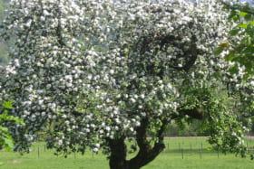 Pommier au printemps