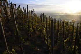 Les vignes au levé du soleil
