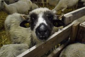 Moutons à la ferme l'Etoile du Berger à Val Cenis Bramans