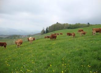 Les vaches de la ferme du Mont Charvet au pré en Valdaine