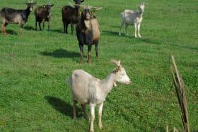 Les Chèvres qui dansent