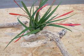 Liloo, plantes Epiphytes