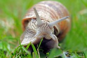 L'escargot de Layat