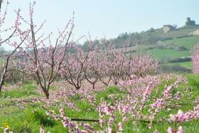 'Gîte du Bistinclin Fruité' à Saint Laurent d'Agny (Rhône, Ouest Lyonnais, proximité Brignais / Mornant) : les vergers alentours