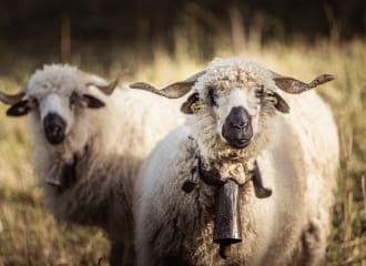 Foire Cantonale aux Moutons & aux Chèvres