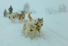 Kimudjuk - Chiens de traineau été/hiver