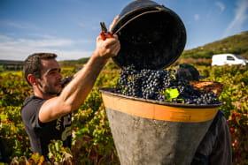 vignes et vendanges - AOC Côtes d'Auvergne