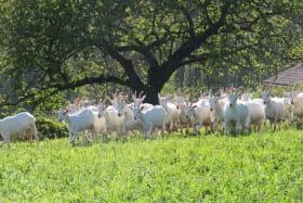 Gîte des Pampilles - Les Haies (Rhône, Pilat, proximité de Vienne et Condrieu) : troupeau de chèvres.
