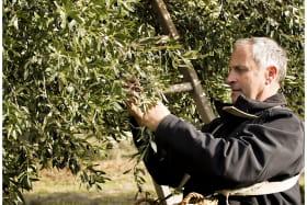 Récolte des olives - Domaine Piallat