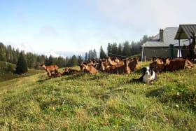 Troupeaux de chèvres Alpage
