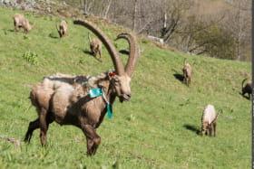 Bouquetin marqué dans le Parc national de la Vanoise