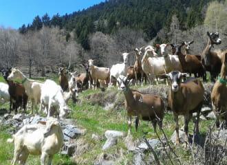 Troupeau de chèvres en alpage