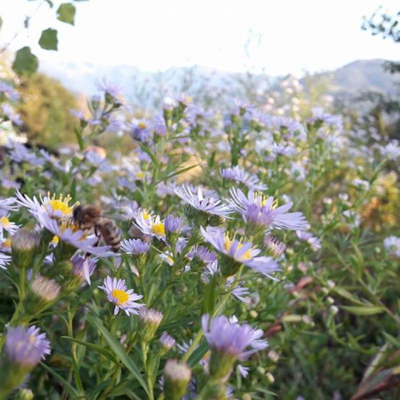 Beebenapiculture