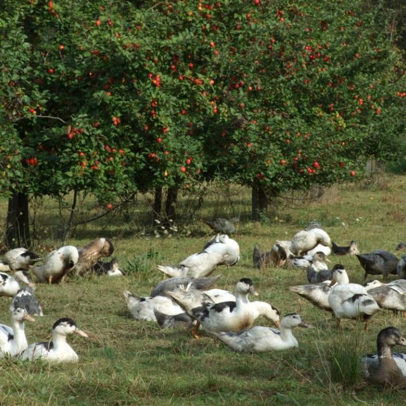 Canards en plein air