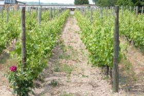 Stéphanie Guillot - Fleur de Vigne