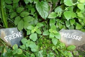 Plantes officinales