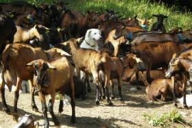 le chien berger dans son troupeau !