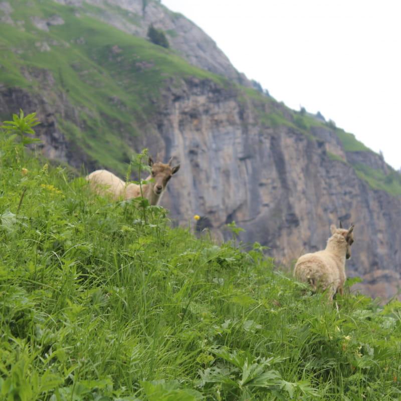 Grande Traversée des Alpes - GR 5 - Samoëns - Chalet d'Anterne