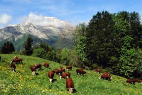 Troupeau de vaches au pied de La Tournette