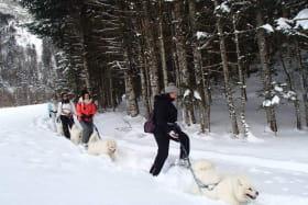 Découverte des chiens nordiques Samoyèdes