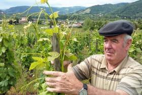 Attache de la vigne